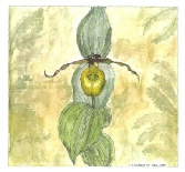 Ingeborg V. Seaboyer - Yellow lady slipper