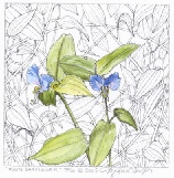 Ingeborg V. Seaboyer - Asian dayflower