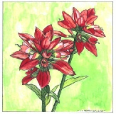 Ingeborg V. Seaboyer - Indian paintbrush